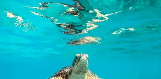 sea turtle in body of water